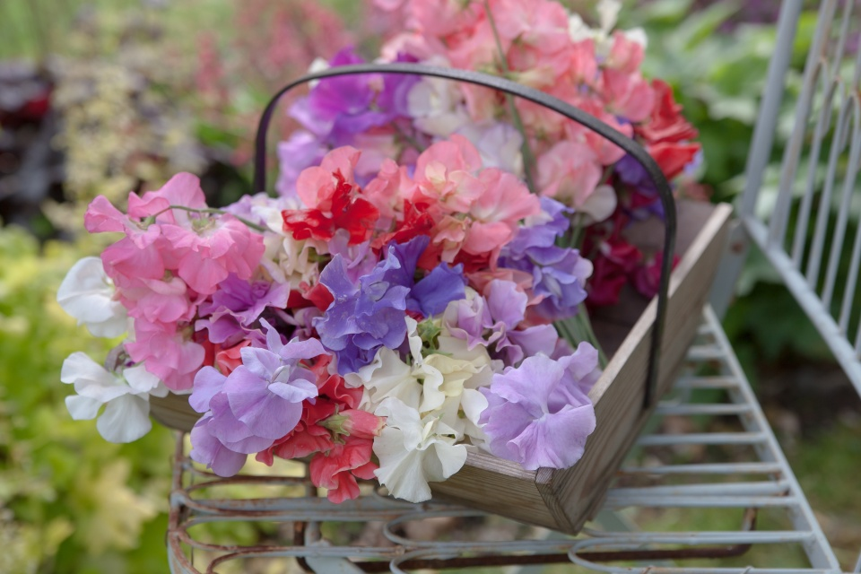 enjoy-flowers-sweet-pea