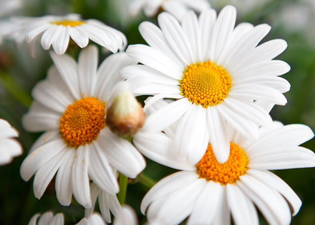 Gerbera-Daisy-enjoy-flowers