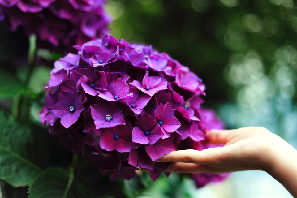 hydrangea-enjoy-flowers